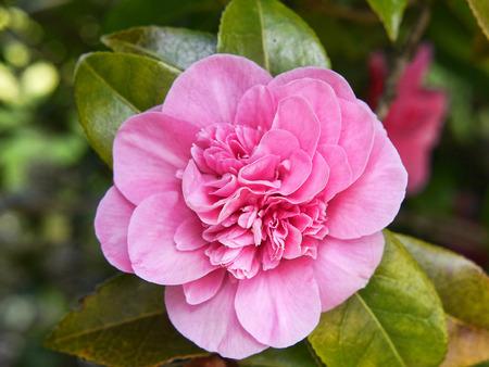 burnley: Beautiful Camellia Flower in an English Garden in Spring