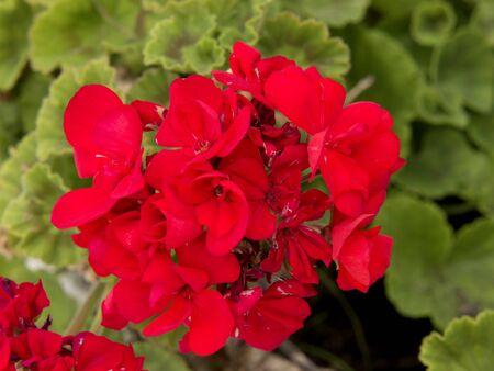 Rote Geranien in Mijas Andalusien Spanien