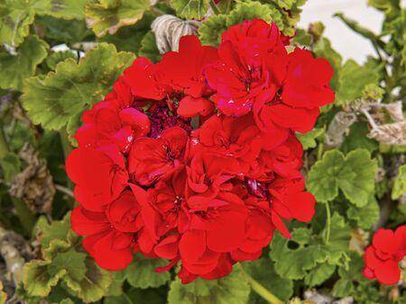 brenda kean: Red Geraniums in Mijas Andalucia Spain