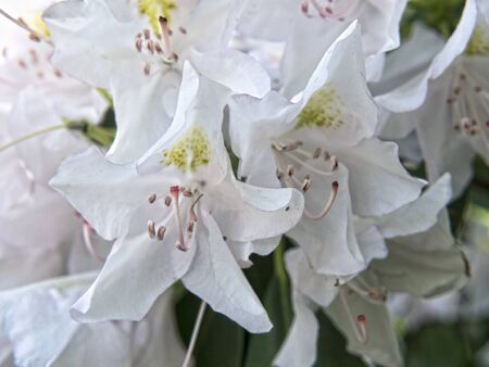 west virginia trees: White Rhododendron in Babcock State Park West Virginia USA Stock Photo
