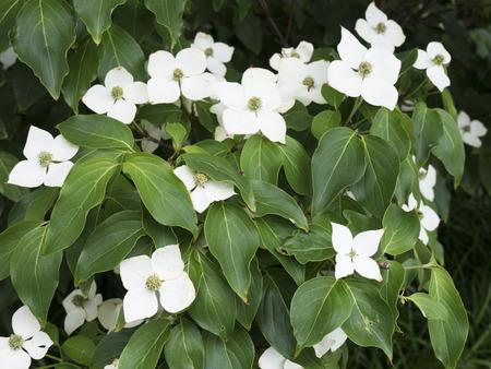kentucky: Flowering Dogwood in Kentucky USA Stock Photo