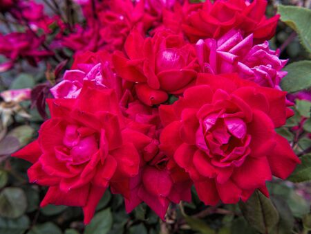kentucky: Roses in Kentucky USA Stock Photo