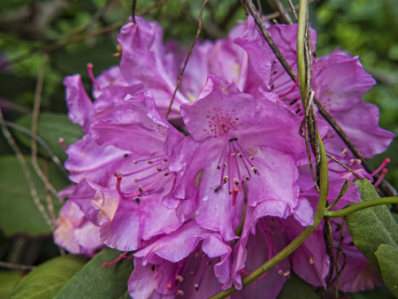 west virginia trees: Californian Rhododendron in Babcock State park West Virginia USA Stock Photo