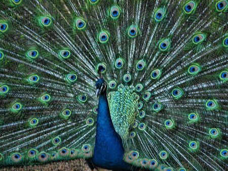 artefacts: Peacock at the Museum of Appalachia, Clinton, Tennesee, USA