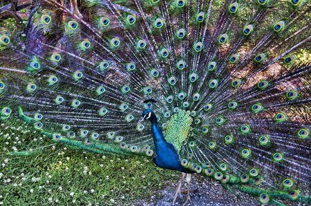 tennesse: Viendo pavo real en el Museo de los Apalaches en Clinton Tennessee EE.UU.