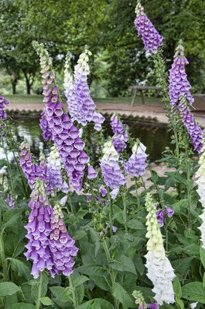 jefferson: Foxgloves at Monticello the graceful house built by Thomas Jefferson on the Potomac River near Richmond Virginia  USA