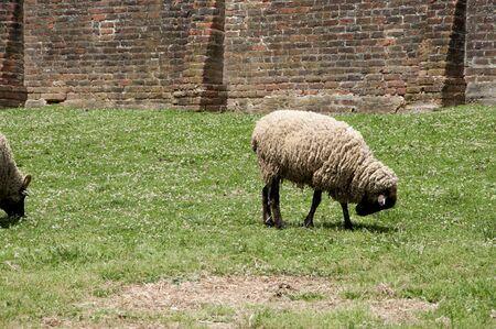 george washington: Sheep at Mount Vernon was the plantation home of George Washington Stock Photo