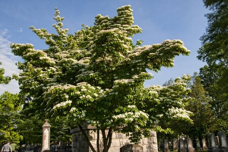 dogwood tree: Flowering Dogwood Tree in Historic Colonial Williamsburg in Virginia USA Stock Photo