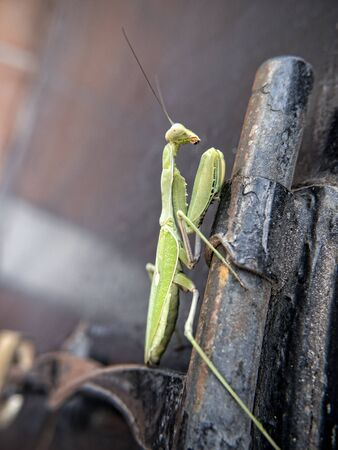 praying mantis: Praying Mantis in Mijas one of the most beautiful white villages of Andalucia. It is in the Alpujarra mountains above the coast