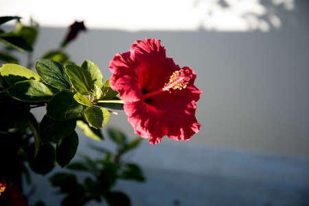 nerja: Hibiscus Flower in Nerja Spain