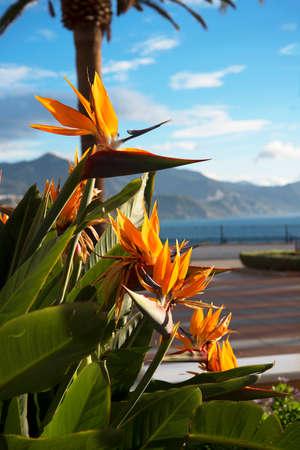 balcon: Bird of Paradise Flowers on the Balcon de Europa Nerja