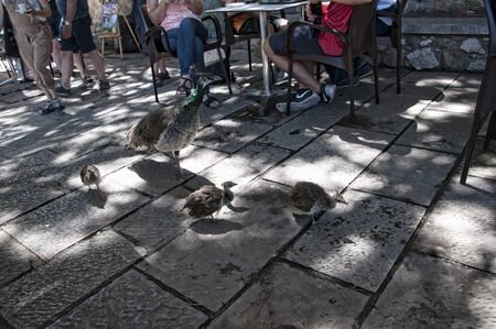 occupying: Peahen and chicks in cafe in Sao Jorge Castle is a Moorish castle occupying a commanding hilltop overlooking the historic centre of the Portuguese city of Lisbon and Tagus River. Editorial
