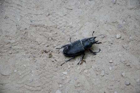 conceived: Stag beetle at the Monserrate Palace and the gardens was conceived by an English architect, James Knowles Jr.as a summer residence for the Cook Family Stock Photo