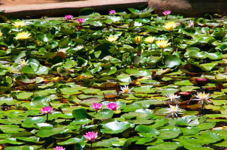 summer residence: waterlilies at the Monserrate Palace and the gardens was conceived by an English architect, James Knowles Jr.as a summer residence for the Cook Family