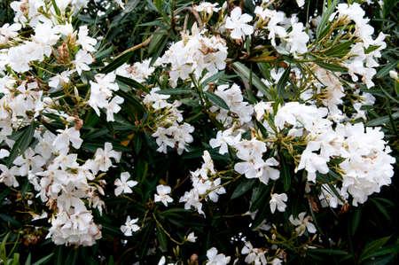 sintra: Flowery bush in Sintra Portugal