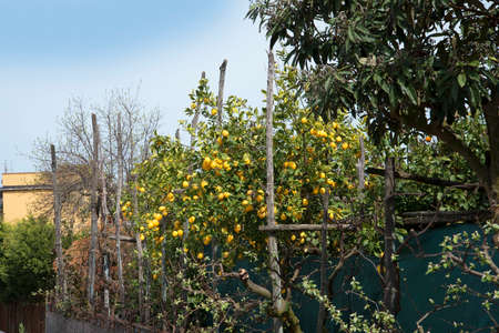 marqueteria: Lemon and orange grove in Sorrento Italy