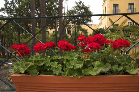 Geranien in Hotel Garden in Sorrento Italien