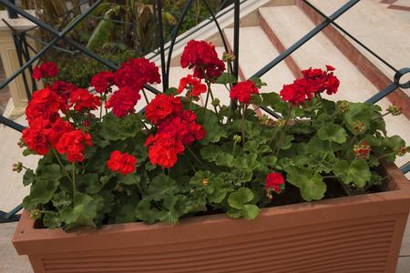 brenda kean: Geraniums in Hotel Garden in Sorrento Italy