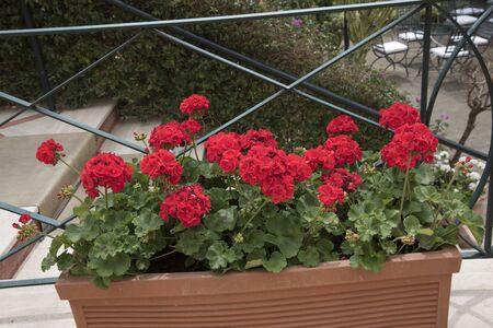 sorrento: Geraniums in Hotel Garden in Sorrento Italy