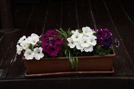 sorrento: Petunias in Sorrento Italy Stock Photo