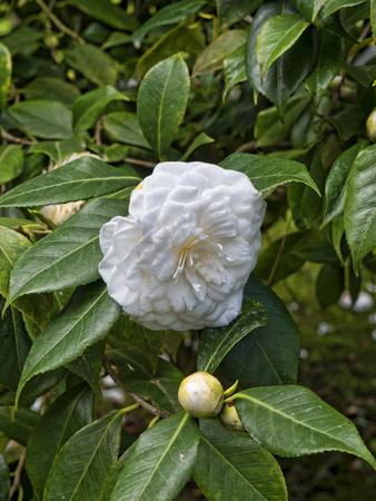 brenda kean: Camillia Flower in Garden on the island of Capri in Italy
