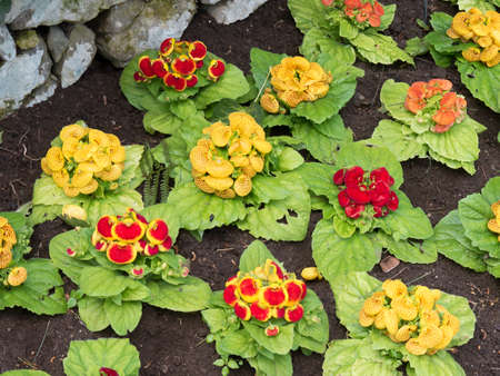 lady's slipper: Ladys Slipper flowers in garden on the island of Capri Italy
