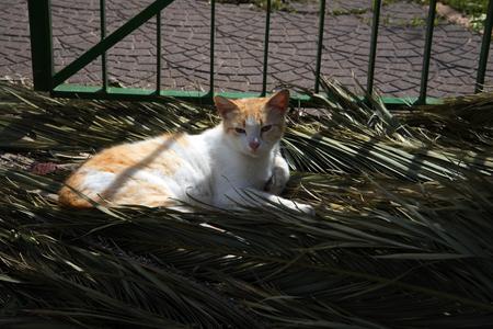 marqueteria: Gato perezoso tomando el sol en Sorrento Italia
