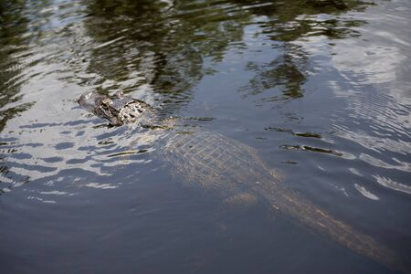 bayou swamp: Alligator on a swamp boat tour of the Bayous outside of New Orleans in Louisiana USA