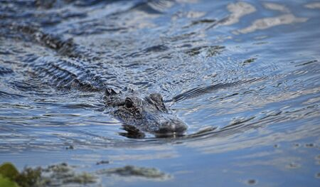 bayou swamp: Alligator in the bayous near New Orleans in Louisiana USA Stock Photo