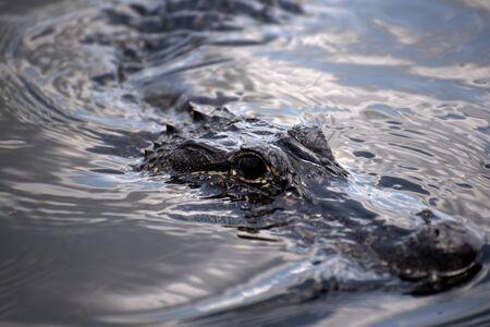alligators: Alligator in the bayous near New Orleans in Louisiana USA Stock Photo