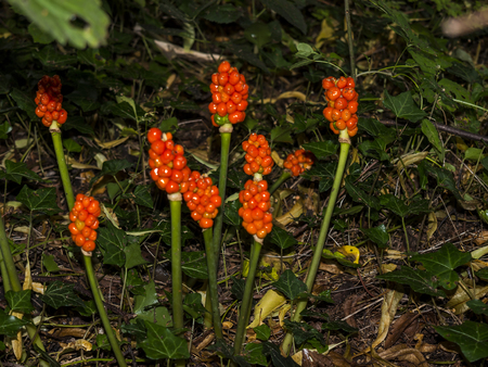 Poisonous Fruit of the Arum Lily Plant at Adlington Hall Gardens in Cheshire