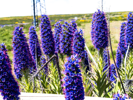The predominating mountain flowers are spiky Pride of Madeira Flowers, Daisies , Broom and Agapanthus 版權商用圖片