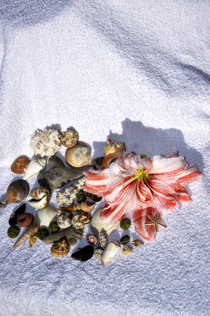 Still Life with Amaryllis flower, shells and beach towel evoking holiday on tropical islands