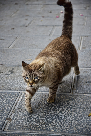 The Cat that walks by itself patrolling the streets of Marbella Spain
