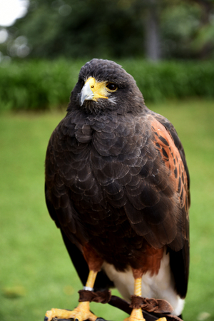 Harris Hawk on the island of Madeira Portugal