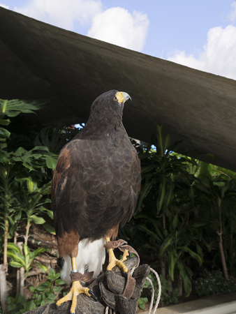 Harris Hawk in the grounds of a luxury Hotel in Funchal Madeira Portugal