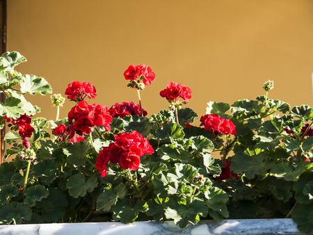 Window Box with Geraniums in Sorrento in Italy