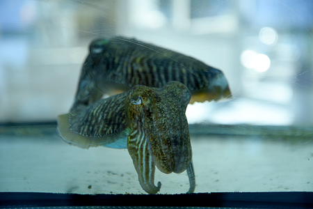 Two Cuttlefish in a tank in a restaurant in Sorrento Italy
