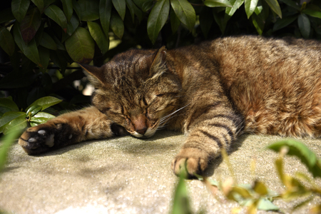 Cat napping in the shade on the isle of Capri in the Bay of Naples