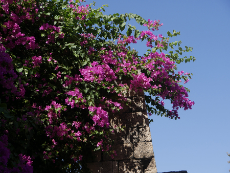 flowers in garden in the walled city of Rhodes