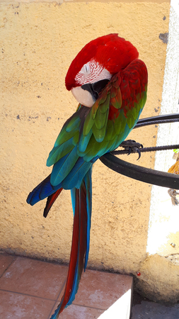 Macaw Parrot at a cafe in the old walled Town of Rhodes in Greece Stock Photo