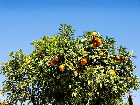 Orange tree in the street in the Spanish resort of Nerja in the January sunshine Stock Photo