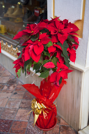 Poinsettia Plants outside every shop as part of their Christmas decorations in Nerja in Southern Spain