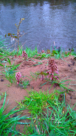This rare wild flower plant is the weirdest I have ever seen. It is called a butterbur and it looks so alien