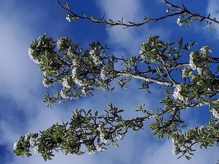 Pear Blossom is one of the early flowers of Spring in Northern England. The busy bees pollinate the blossom for a good Crop of Pears by late September