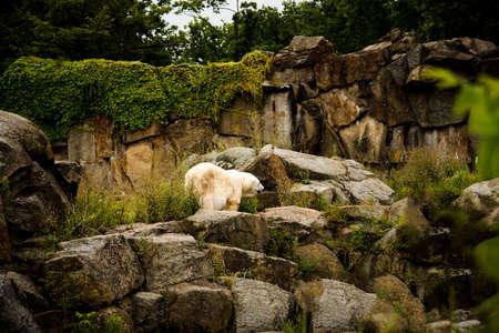Polar Bear in the Zoological Garden in Berlin Germany