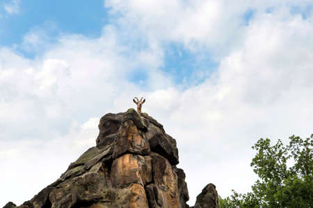 Ibex Mountain Goats in the Zoological Garden in Berlin Germany