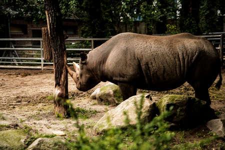 Rhinoceros in the Zoological Garden in Berlin Germany