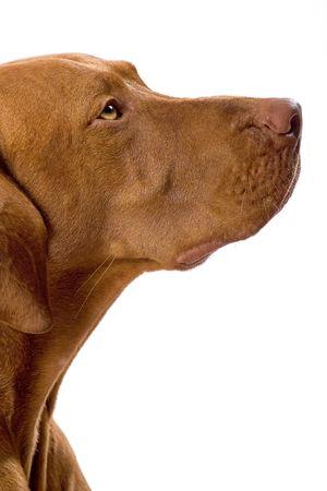 pure breed dog