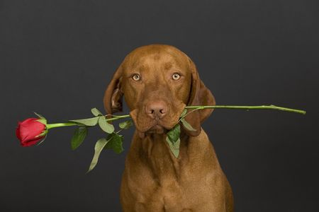 pure breed dog holding rose stem in mouth